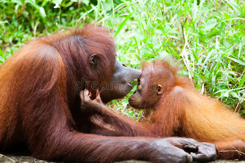 Orangutan mother. Assignment - an orangutan mother kissing the forehead of her juvenile, depicting a 'be kind' gesture