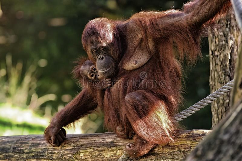 Orangutan MOther with Child royalty free stock images