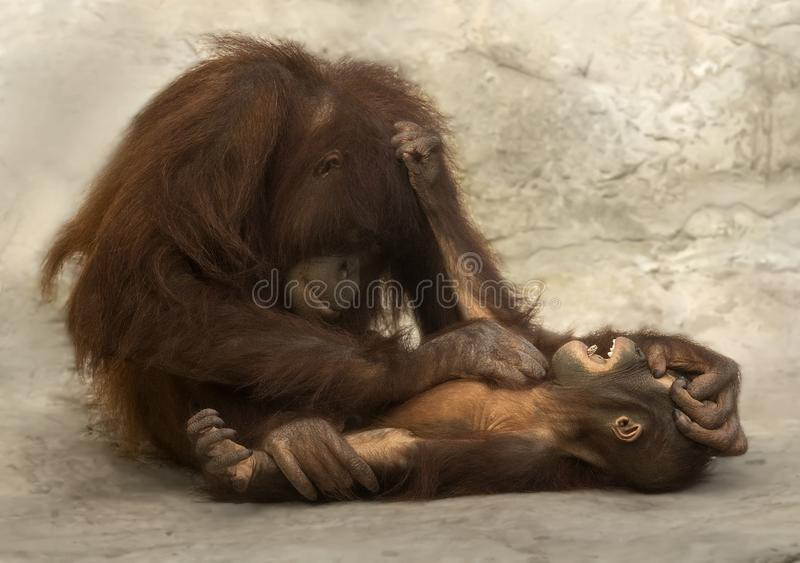 Orangutan Mother Tickles Infant stock photography