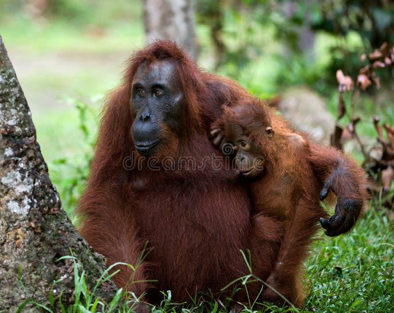The orangutan Mum with a cub royalty free stock photography