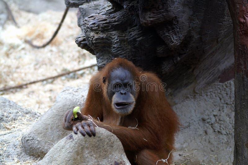 Orangutan nello zoo fotografie stock libere da diritti