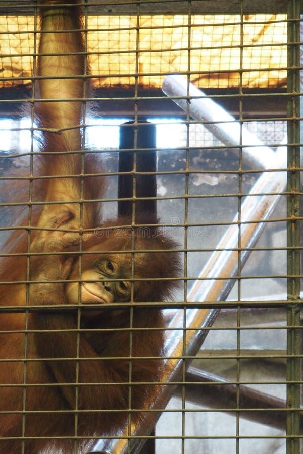 Orangutan nello zoo fotografia stock libera da diritti
