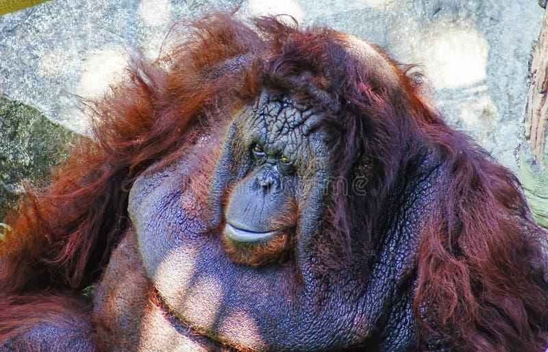 Orangutan obsiadanie na skałach, wystrzeganie słońce fotografia stock