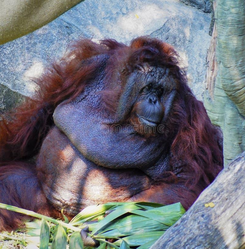Orangutan obsiadanie na skałach, wystrzeganie słońce zdjęcia royalty free