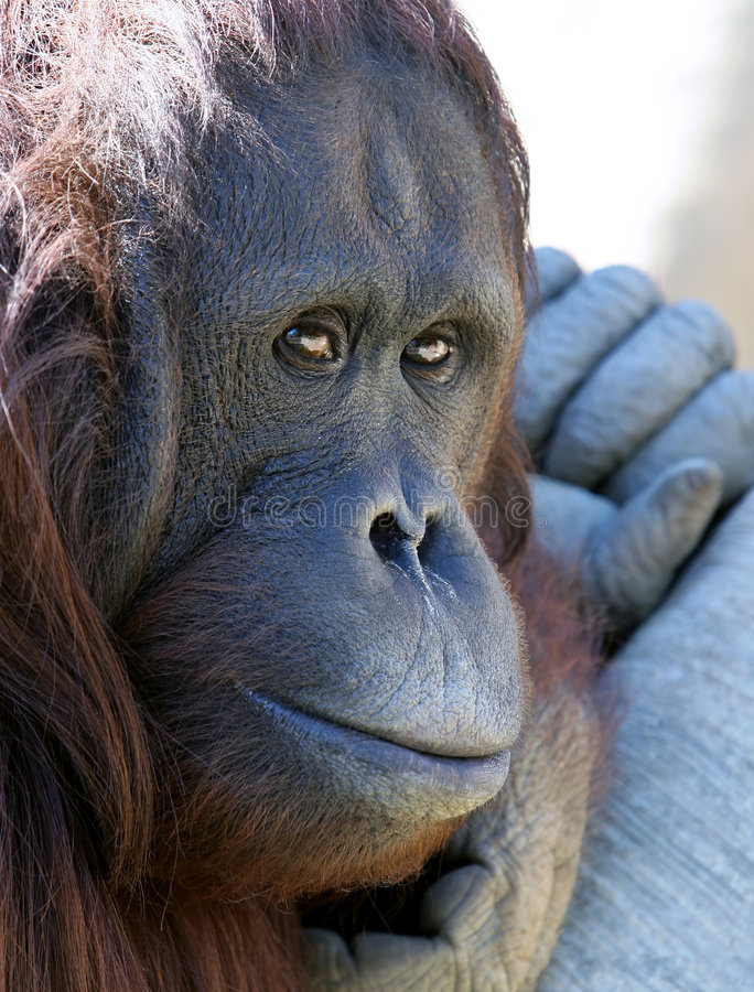 Free Orangutan Or Ape Chilling In The Sun Looking Unhappy Royalty Free Stock Photos - 123698