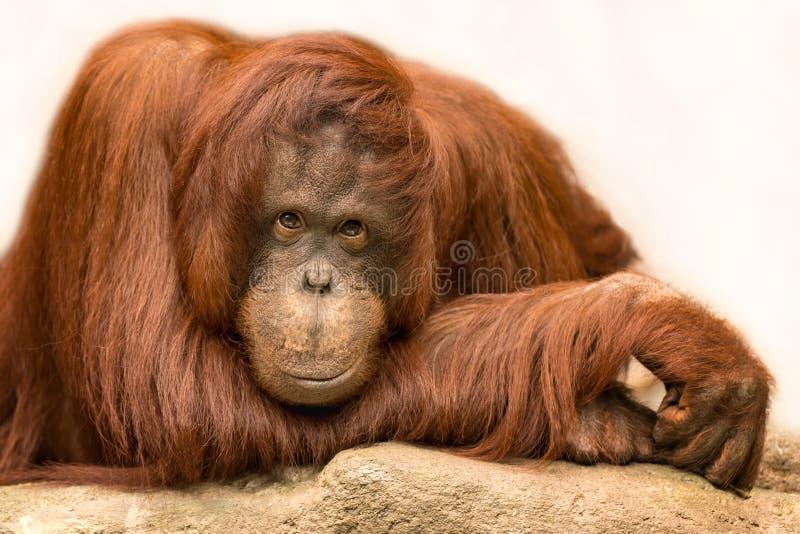 Orangutan portrait. Closeup portrait of a posed female adult orangutan royalty free stock photos