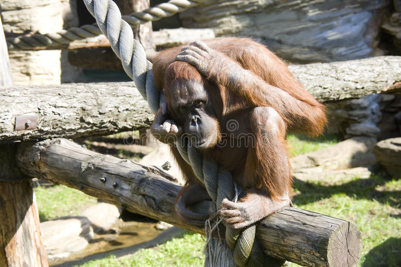 Orangutan primacy anthropoid the tropics nostril. Hair zoo stock images