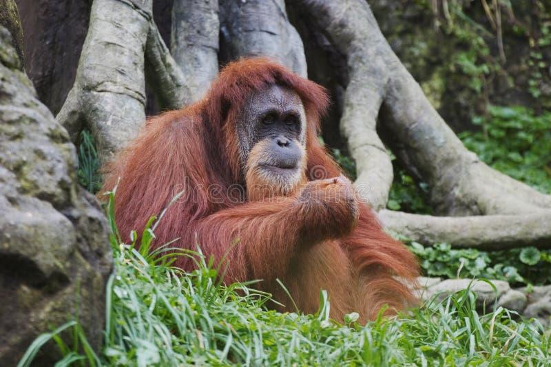 Orangutan (pygmaeus) del Pongo, Borneo, Indonesia immagine stock libera da diritti