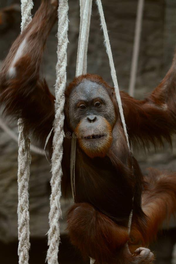Orangutan in ropes royalty free stock images