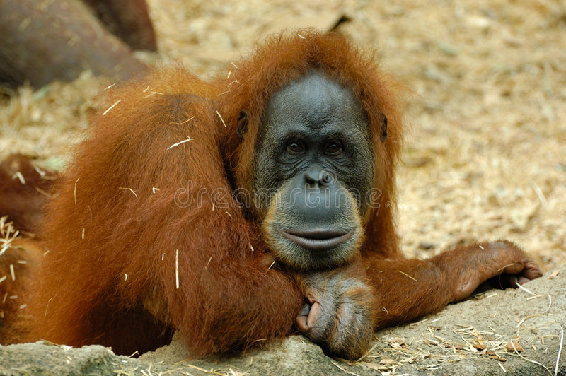 orangutan rozważne zdjęcie stock