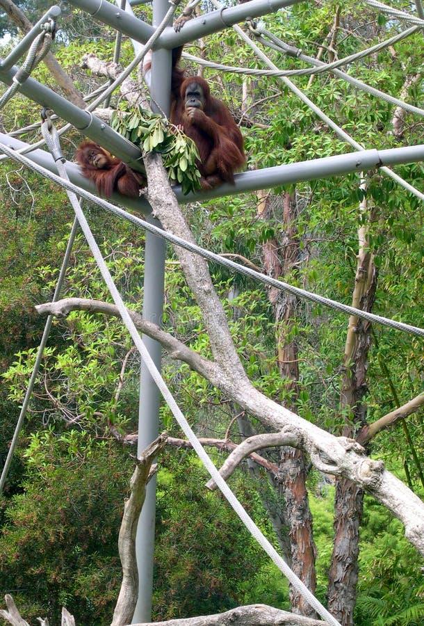 Download Orangutan in San Diego Zoo stock photo. Image of california - 11405738