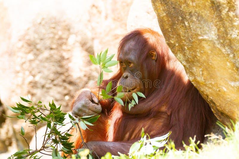 Orangutan som äter leafen royaltyfri fotografi
