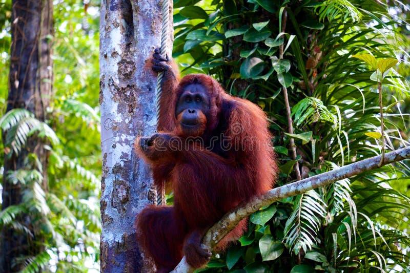 Orangutan sorridente fotografia stock libera da diritti