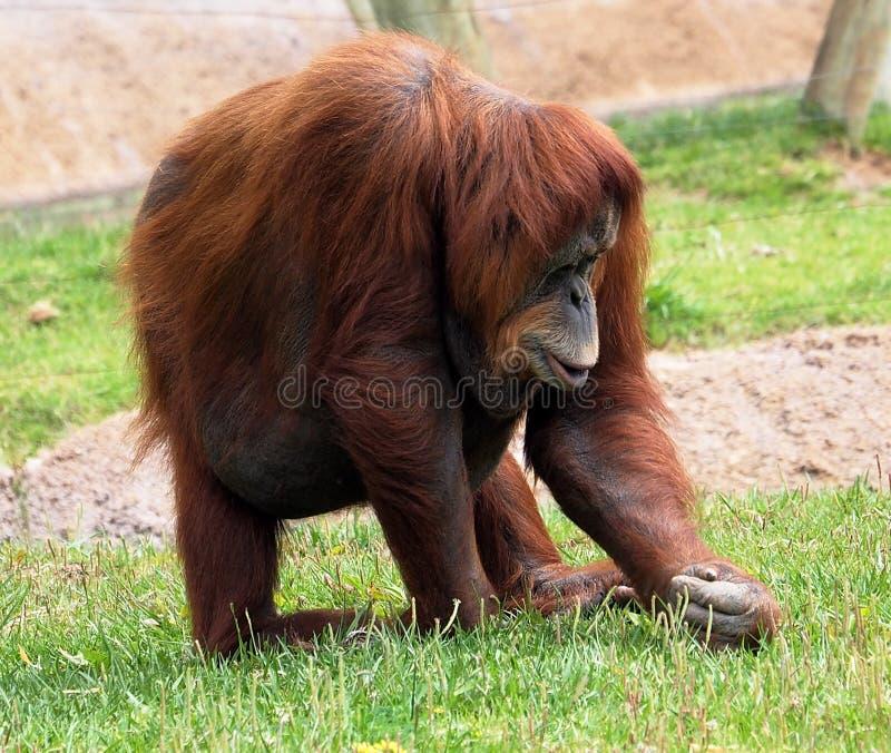 Orangutan Sumatran ή συνεδρίαση Pongo Abelii στη χλόη στοκ φωτογραφίες με δικαίωμα ελεύθερης χρήσης
