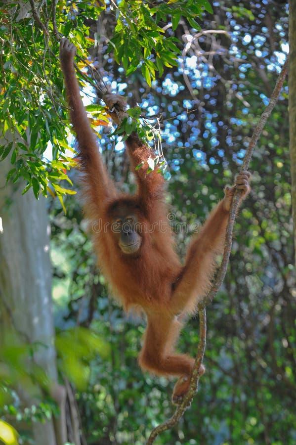 Orangutan Sumatran στοκ εικόνα με δικαίωμα ελεύθερης χρήσης