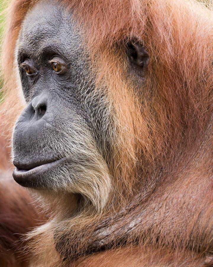 Orangutan Sumatran стоковое фото