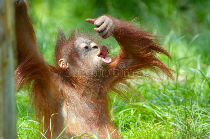 Orangutan sveglio del bambino immagine stock