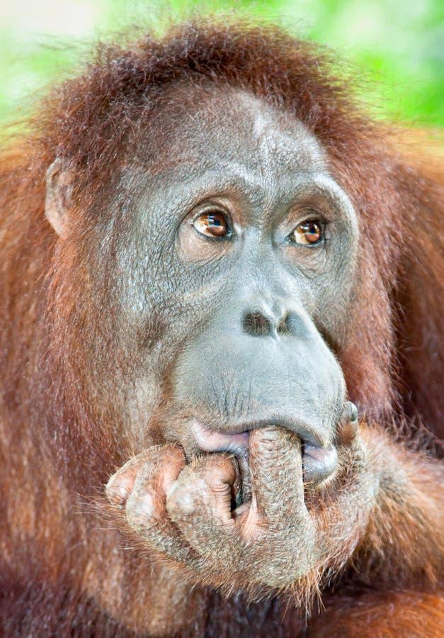 Orangutan w dżungli Jawa, Indonezja zdjęcia royalty free