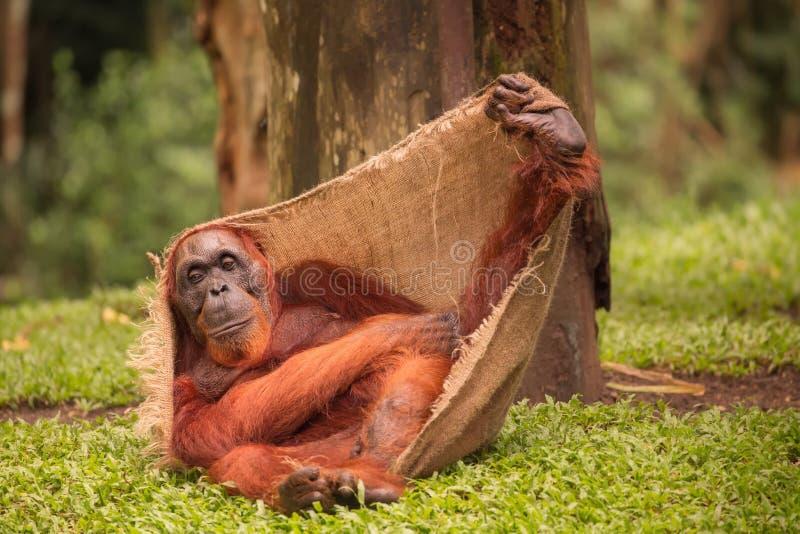 Orangutan w Singapur zoo zdjęcia stock