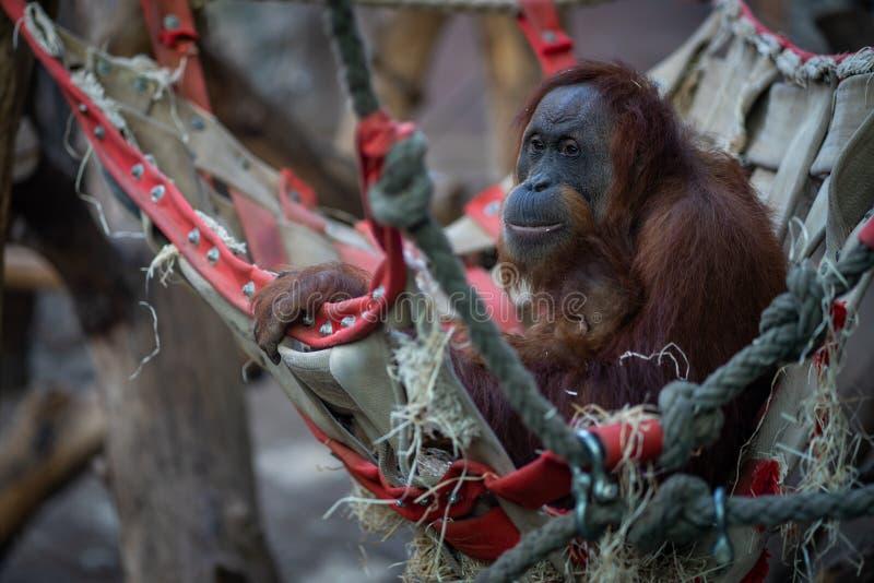 Orangutan z dzieckiem w Frankfurt zoo zdjęcia stock