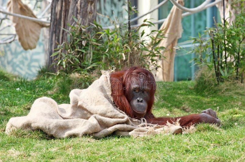 Orangutan In Zoo Royalty Free Stock Images