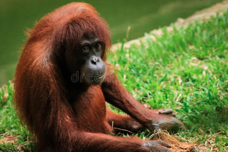 Orangutan zoo in Kota Kinabalu, Malaysia, Borneo. The monkey sits and watches stock images