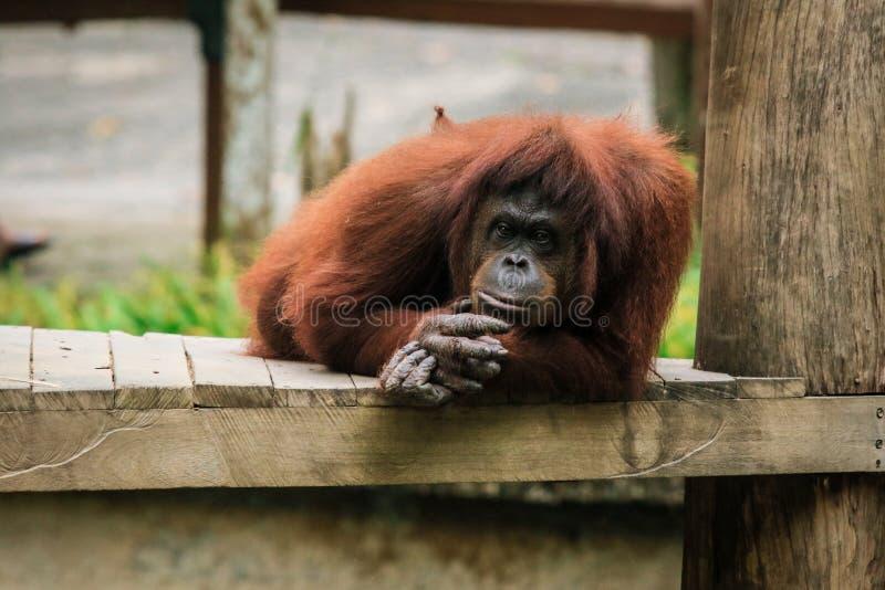 Orangutan zoo in Kota Kinabalu, Malaysia, Borneo. The monkey is resting stock images