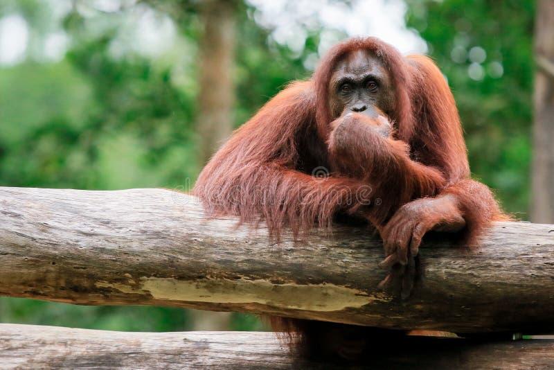 Orangutan zoo in Kota Kinabalu, Malaysia, Borneo. Pensive monkey sitting on a tree royalty free stock image