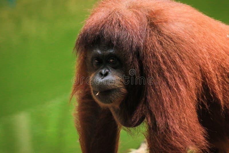 Orangutan zoo in Kota Kinabalu, Malaysia, Borneo. Smart monkey look royalty free stock images