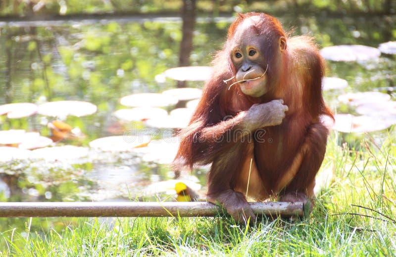 Orangutanen behandla som ett barn arkivbild