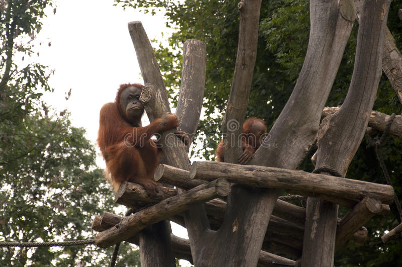 Orangutanes fotografía de archivo libre de regalías