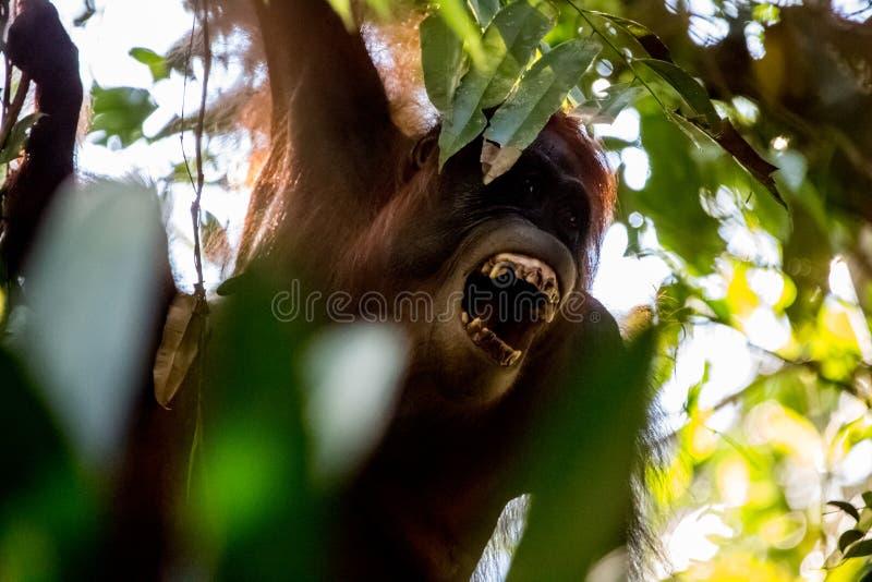 Orangutanes de griterío en el bosque en Borneo imagen de archivo libre de regalías