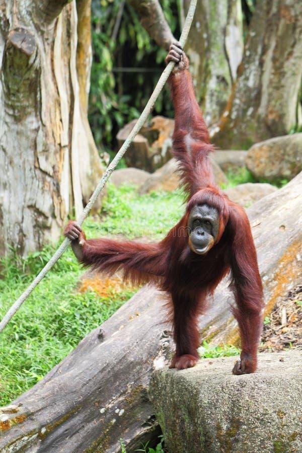 Download Orangutang fotografering för bildbyråer. Bild av kvinnlig - 27279769