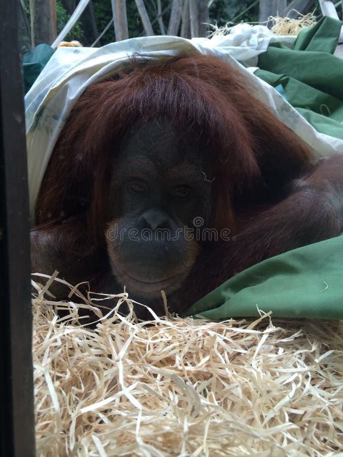 Orangutang royaltyfri foto
