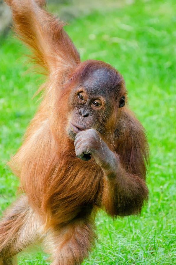 Download Orangutang imagem de stock. Imagem de primeval, ásia - 65575155