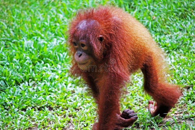Orangutang Babt в Борнео стоковое фото rf