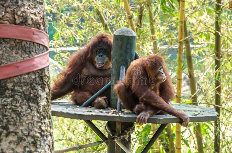 Orangutang Borneo royaltyfria foton