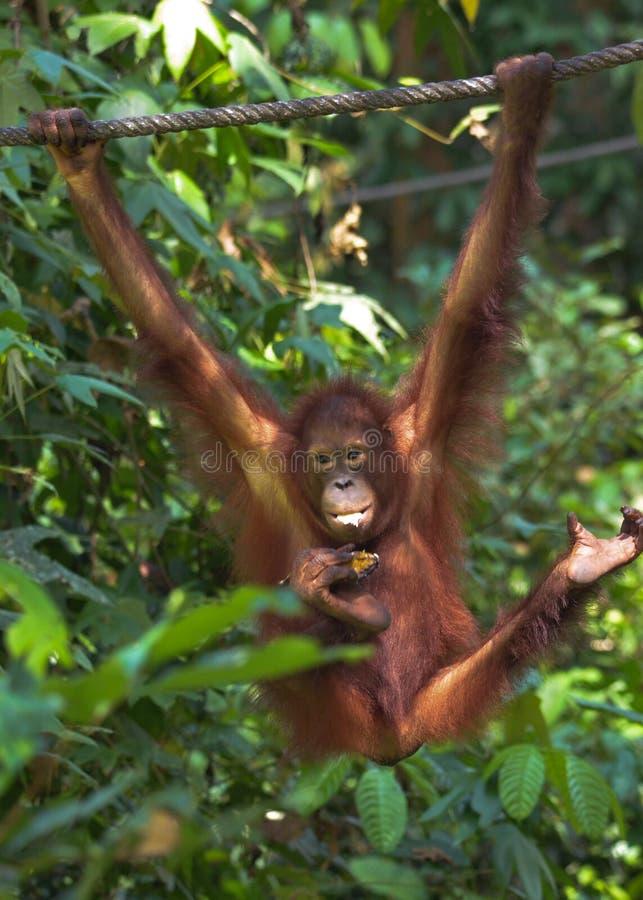 Orangutang che oscilla su una corda fotografie stock libere da diritti