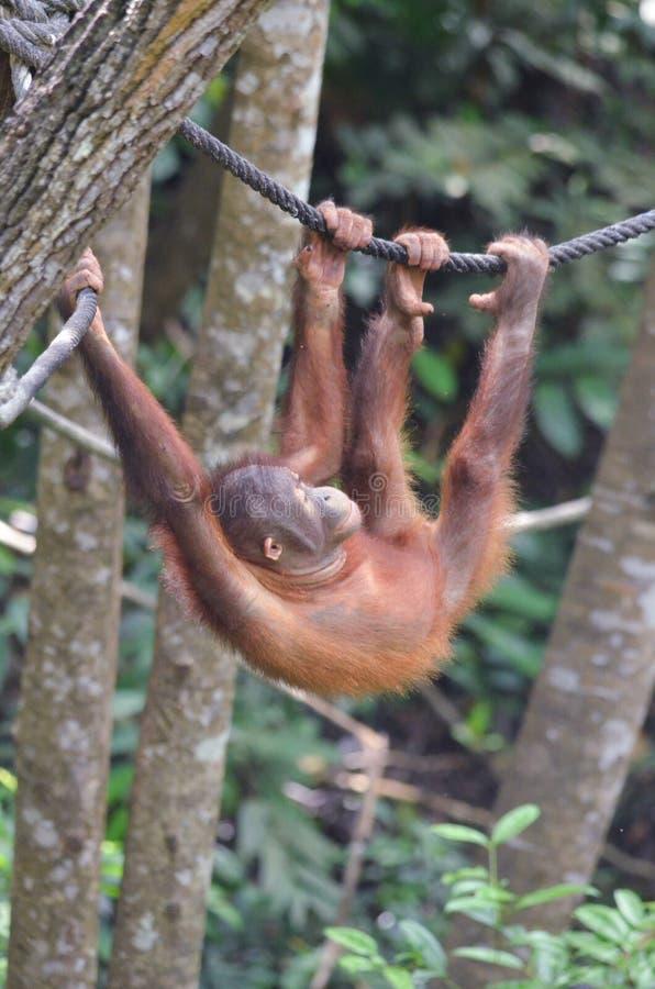 Orangutang che oscilla su una corda immagine stock libera da diritti