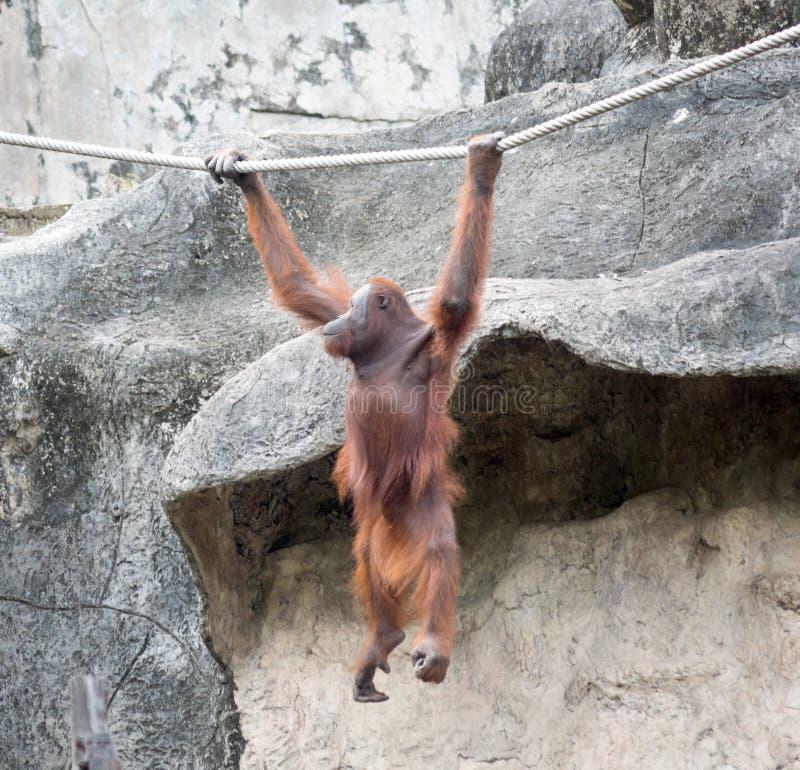 Orangutang dans le zoo photo libre de droits