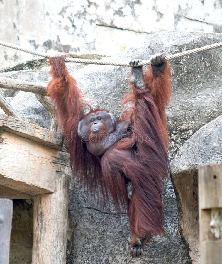 Orangutang dans le zoo images stock