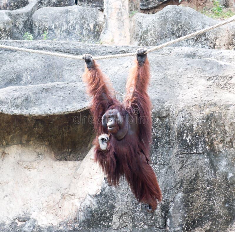 Orangutang dans le zoo photos libres de droits