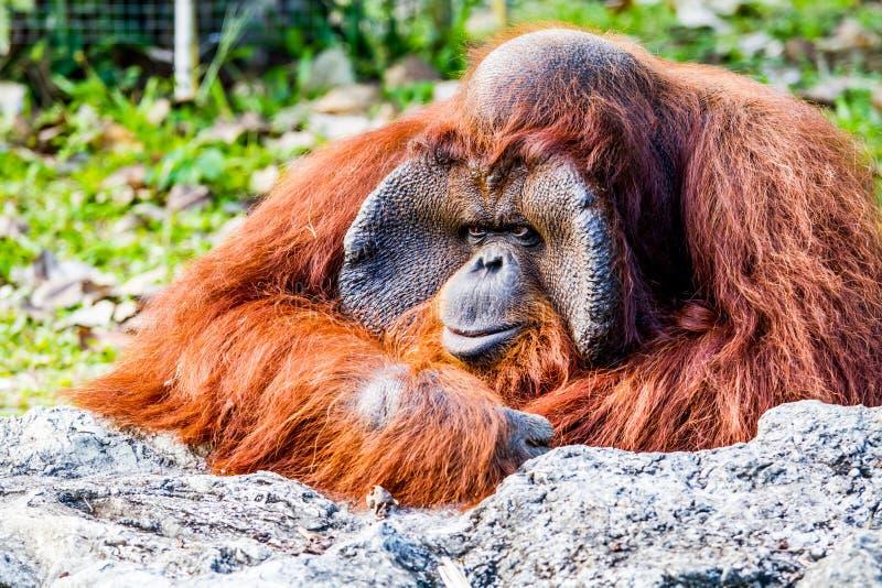 Orangutang i chiangmaizoochiangmaien Thailand fotografering för bildbyråer