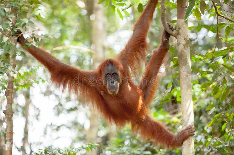 Orangutang i Sumatra arkivfoto