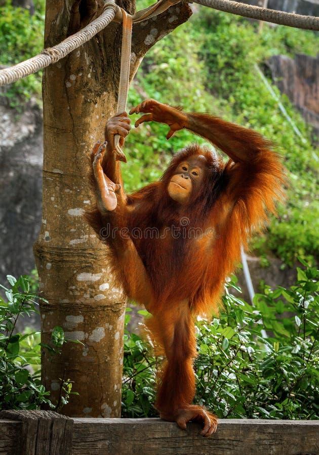 Orangutang mignon et sourire photographie stock libre de droits