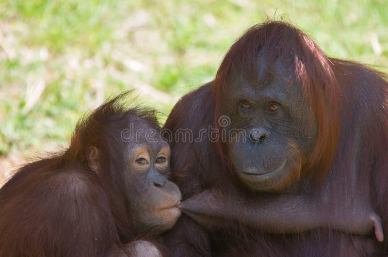 Orangutang - moder och dotter royaltyfri bild