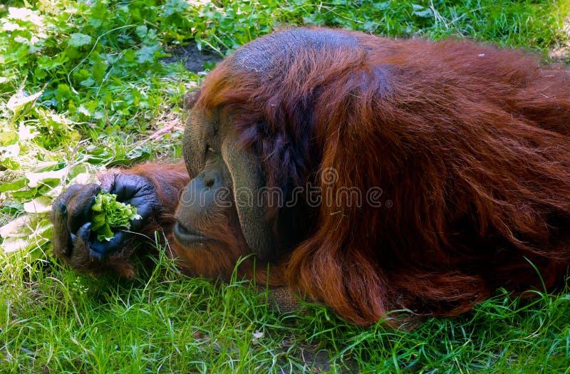 Orangutang på den Seattle zoo royaltyfri foto