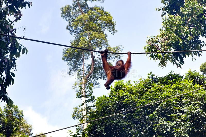 Orangutang sauvage dans la réserve naturelle de Sepilok dans Sabah, Bornéo, Mala photos stock