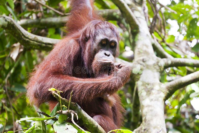 Orangutang som tänker på ett träd royaltyfria foton