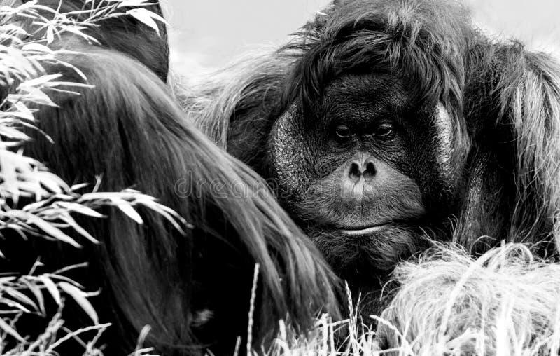 Orangutang Utan, zoo Wien royaltyfri fotografi